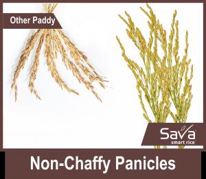 Non-Chaffy-Panicles