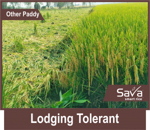 Lodging-tolerant