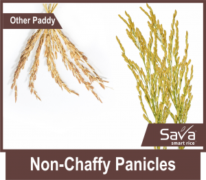 Non-Chaffy-Panicles